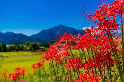 Những khóm hoa Bỉ Ngạn đỏ rực rỡ